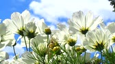pasture : White cosmos flowers. Beautiful landscape