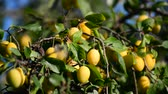 размыто : Sweet ripe yellow plum on a branch against the blue sky