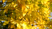 backlit : A Beautiful yellow autumn leaves backlit
