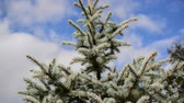 веточка : Blue spruce branches sways in the breeze