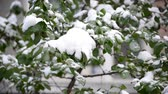 silence : A Green  Leaves Covered with a Snow Stock Footage