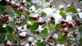 cancelar : Hawthorn berries and green leaves in the snow