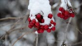 first : viburnum berries covered in  snow at wintertime.