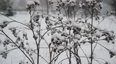 burr : Weeds covered  snow during a blizzard