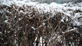 burr : Shrub in winter during a blizzard