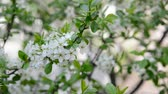 abundante : Blooming plum tree in spring Stock Footage