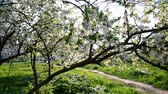 abundante : Flowering plum trees in  park at  spring