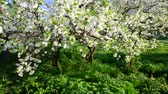 abundante : Flowering plum trees in  park