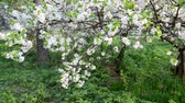 abundante : Flowering plum trees in  park at  springtime Stock Footage