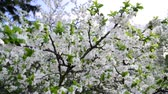 abundante : plum trees in  park at  springtime Stock Footage