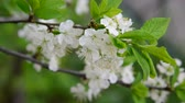 abundante : Large flowers on plum tree in spring