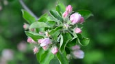 веточка : apple branch with pink buds