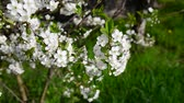 abundante : Cherry Orchard abundantly blooming Stock Footage
