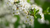 abundante : Cherry branch in abundant flowering, macro