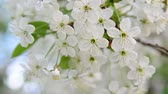 abundante : cherry tree branch with white flowers