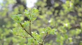 salgueiro : Young budding leaves on tree
