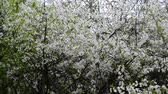 abundante : Cherry Orchard abundantly blooming in spring
