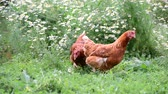 trough : Hens eating grass in nature
