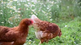 colorful : Pedigree Hens eating grass in nature