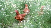 trough : Pedigree Hens eating grass in nature