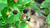 wild : blackberries on branch. Summer sunny day Stock Footage