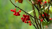 freshness : Bunches of red currant hanging in garden Stock Footage