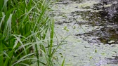wrack : The river overgrown with reeds and duckweed, Central Russia