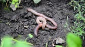 fetida : The earthworms lie on ground Stock Footage