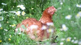 trough : Chicken is hidden from the summer heat in flowers