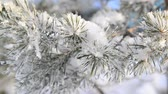 веточка : Sprig of pine trees covered with snow and frost Стоковые видеозаписи