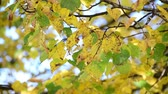 backlight : Yellow and green leaves on tree in autumn
