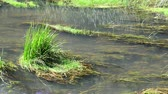 wrack : River with algae and dragonflies in summer