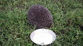 sivri : Young hedgehog around a saucer of milk in garden Stok Video