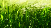 avant : Green ears of rye are swaying in wind. close-up
