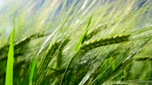 tüske : Green ears of rye are swaying in wind. close-up