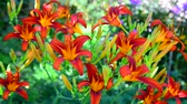 Лилли : Beautiful bright daylilies on the flowerbed