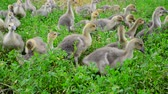 quintal : Goslings tweak the grass in yard Vídeos