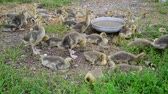 quintal : Many goose in yard near the drinker