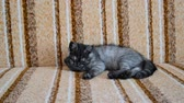 tomcat : three-month-old crossbred with Scottish breed kitten lies on couch
