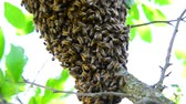 los : The bee swarm on plum tree