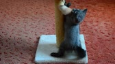 videospiel : Gray Scottish kitten playing with toy Videos