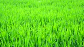 もやし : Young sprouts of wheat close-up 動画素材