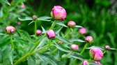 mravenec : Pink peony buds on flowerbed