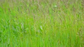 fodder : Green field grass in wind in summer Stock Footage