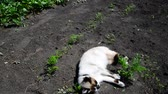 chat siamois : Siamese cat rejoices and plays on warm earth Vidéos Libres De Droits