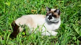 chat siamois : Siamese cat lies in grass Vidéos Libres De Droits