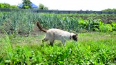 chat siamois : Siamese cat walks around kitchen garden Vidéos Libres De Droits