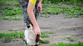 chat siamois : Siamese cat rubs against teen boys legs