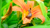 felcsavar : Snail crawls along the orange daylily