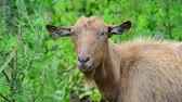 привязь : Brown goat without horns is grazing in nature Стоковые видеозаписи